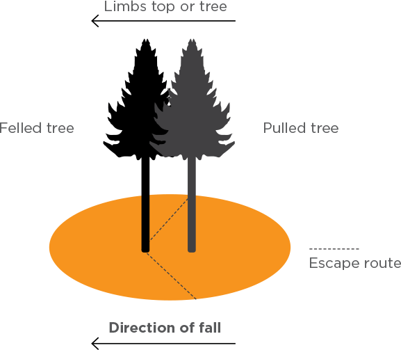 [Image] Infographic showing the danger zone and escape route where a felled tree falls, pulling another tree with it.