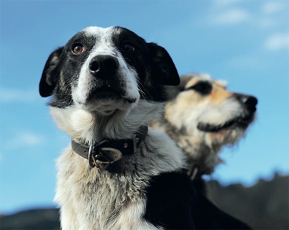 [image] Close up of two working farm dogs