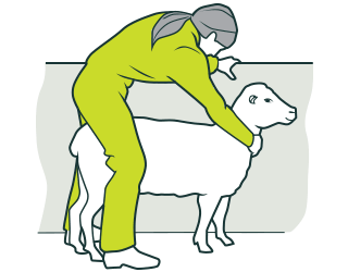 [image] Safe Sheep Shearing hero 2